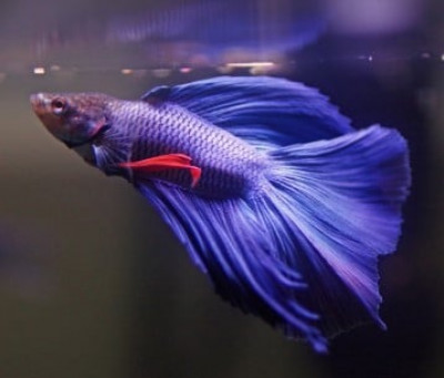 why-is-my-betta-fish-not-eating.jpg