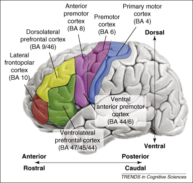 Depressed People Medial Prefrontal Cortex Exerts Control Parts Brain 49168 further Semioval center together with Animals additionally Pfc furthermore 524. on dorsal vs posterior and ventral anterior
